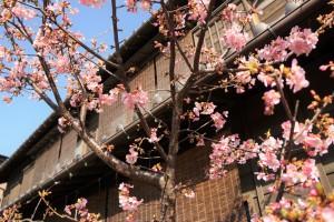 川越 梅の花