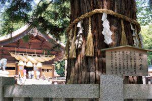 諏訪大社秋宮 神楽殿 根入の杉