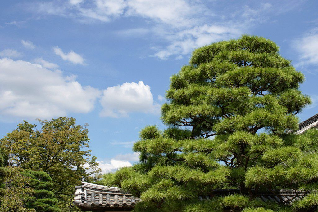 二条城 本丸 庭園 松