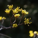 山茱萸 (さんしゅゆ)の花