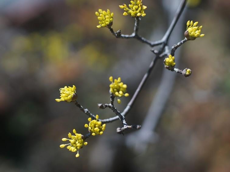 山茱萸の木