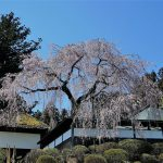安楽寺の枝垂れ桜
