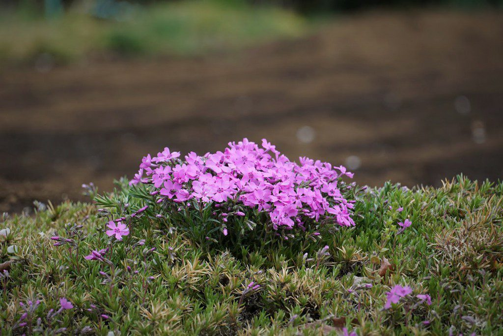 狭山丘陵 芝桜ガーデン