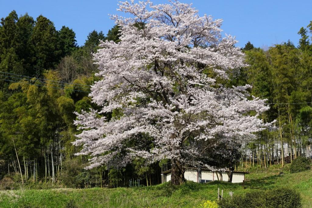 丘に咲く桜